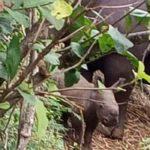 Rare white rhino born in Kenya