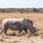 Africa's rhinos face new poaching threat with traditional Chinese medicine touting horn as coronavirus cure