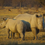Environment, Forestry and Fisheries on rhino poaching decreases by more than half in the first half of 2020