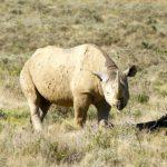 Namibia dehorns 666 rhinos since 2018 to curb poaching