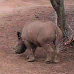 Orphaned baby rhino shot by poachers released back into wild after her amazing recovery (Zimbabwe)