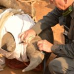 IN PHOTOS: KNP rhino dehorned to keep poachers at bay