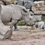 First in-depth insights into parturition in rhinos