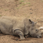 The race to save the northern white rhino before it's too late
