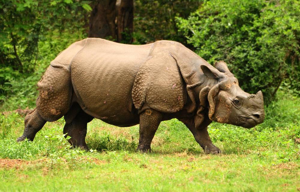 Great-Indian-one-horned-rhinoceros-at-Kaziranga-national-park-in-Assam-India